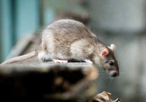 Rat Exterminator Endon